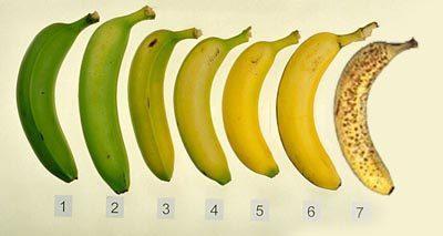 קצב ההבשלה של הבננה