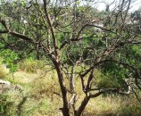 עץ א' בשרטוט - לימון שכמעט כלו יבש. יצטרך טיפול. ננסה לעזור לו
