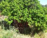 עץ אשכולית גדול בטרסה השניה - נותן יופי של פרי (למרות שרוב הפרי לא בשימוש)