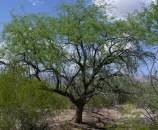 אחד ממיני עץ המסקיט - קושר חנקן, עמיד מאוד ביובש, מניב תרמילים אכילים ומזינים מאוד