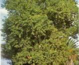 סיסם הודי