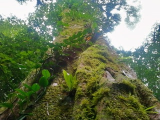 כזהו יער הגשם, ריאה ענקית שאינה נחה, פועמת, נושמת, חיה ללא לאות ומטהרת את האוויר.