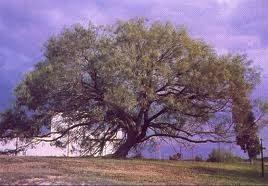 עץ מסקיט (ינבוט)