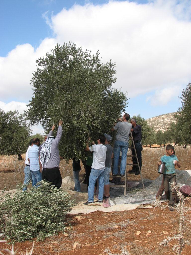 מסיק זיתים משותף בכפר אל וואלאג'ה (מתוך אתר לוחמים לשלום)