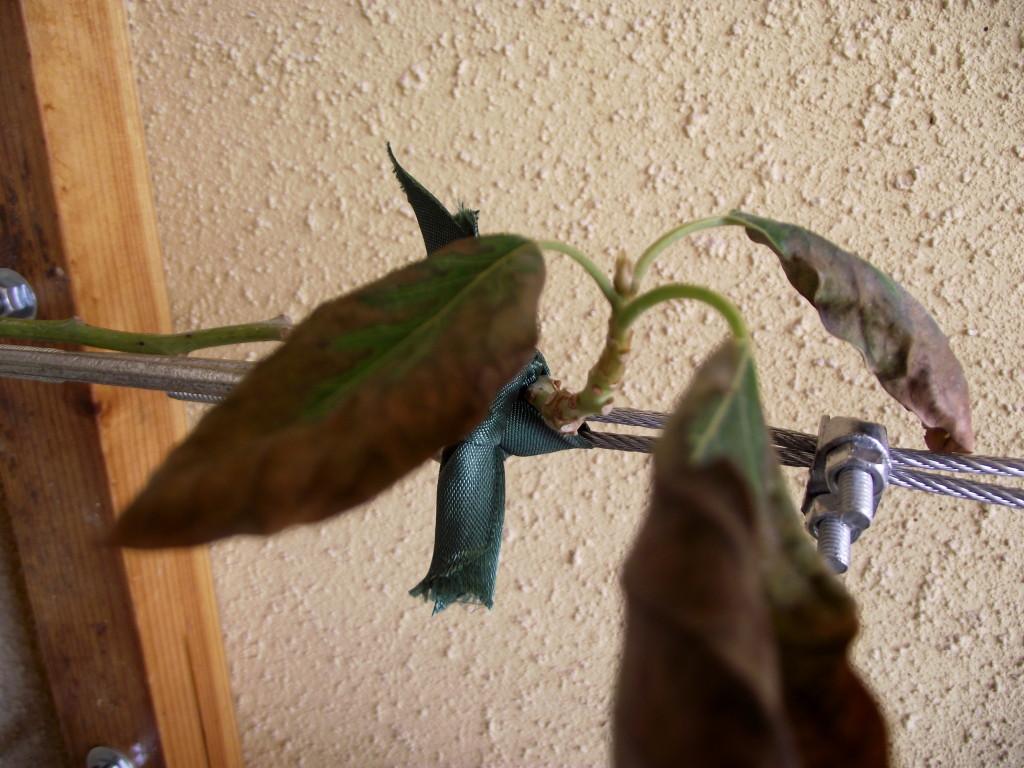 ניצנים של צימוח חדש באבוקדו שבקיר