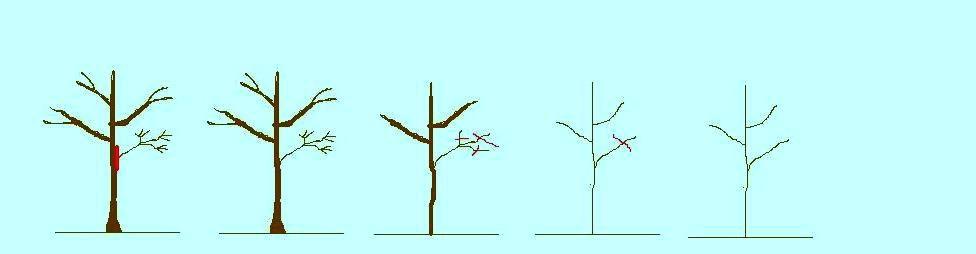 גיזום הקצרה להסרת ענף1