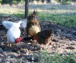 התרנגולות אוכלות