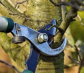 גיזום עצי נוי צעירים