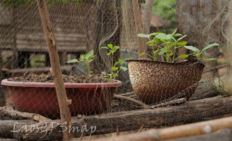 קסדת חייל כמנבטה- מקום מעולה להנביט את הצמחים.