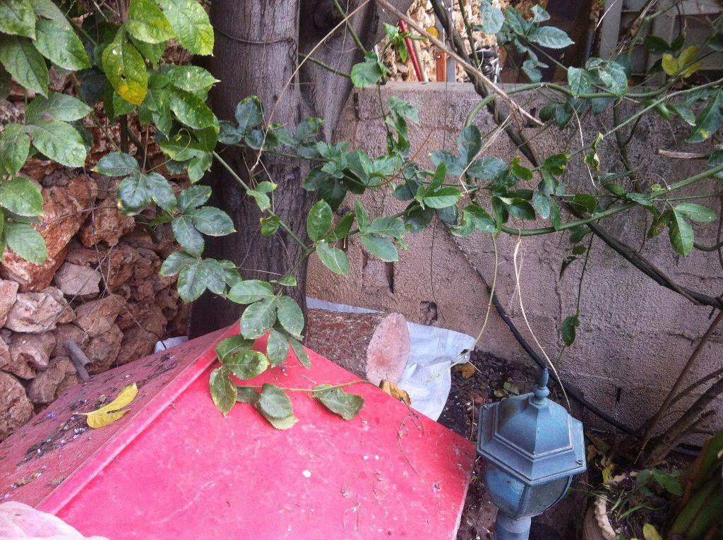 גזע העץ בצל מבודד מהקרקע