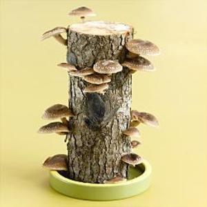 פטריות על גזע עץ- בקרוב אצלך