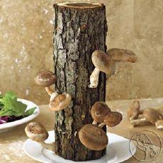 גזע עף עם פטריות- מונח על צלחת מוכן לאכילה (סתם הצלחת כדי לשמור על לחות בגזע)