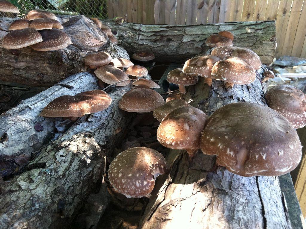פטריות שיטקי על גזעי עץ בשלב מתקדם- סימו לב לשלב הרקבון המתקדם של גזעי העץ.