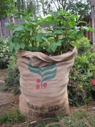גידול תפוחי אדמה בשק קפה במקום בצמיגים