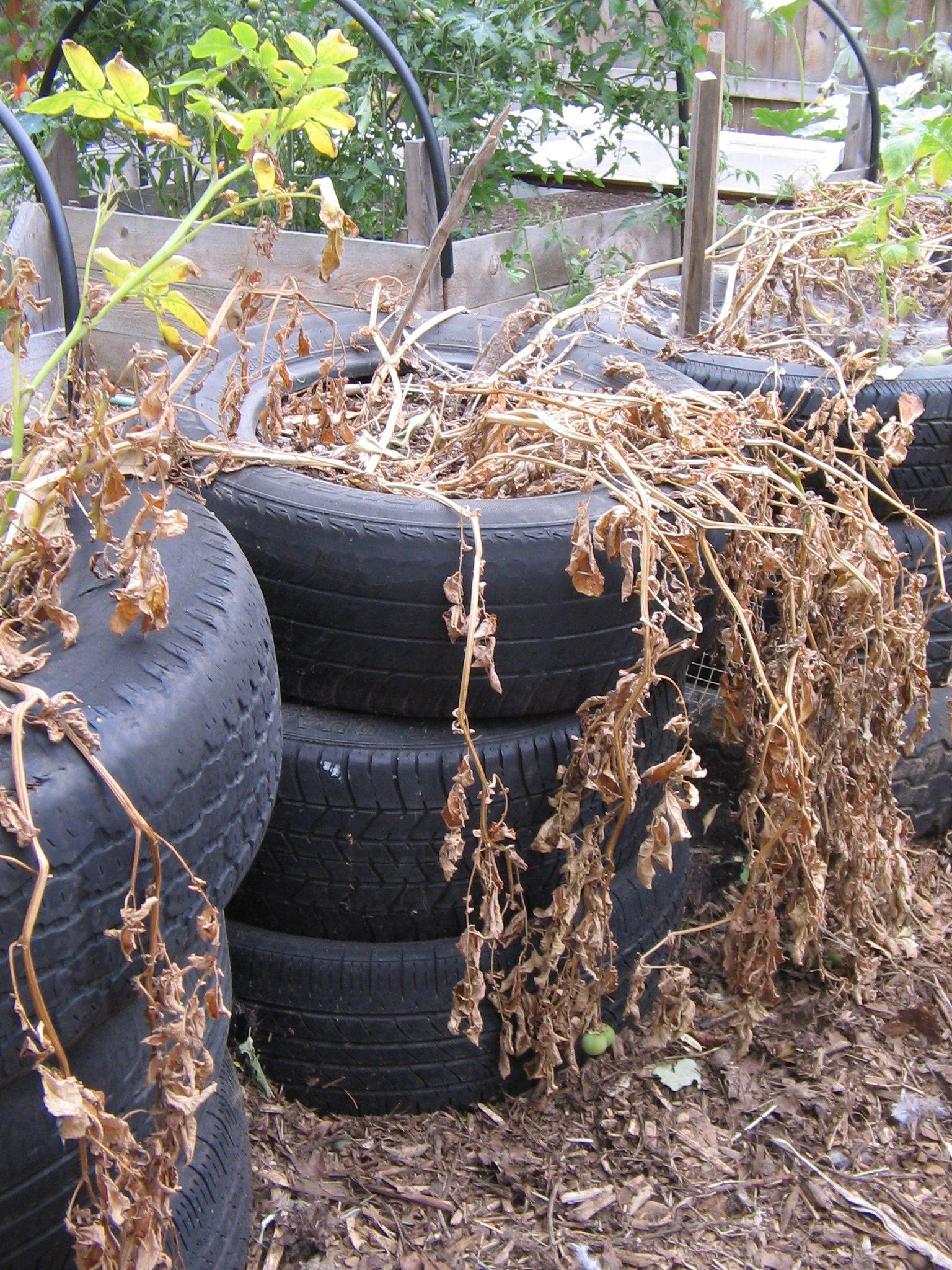 סוף עונת תפוחי האדמה- יש להיזהר מהפירות הרעילים (הפרי הירוק התלוי על הצמח)