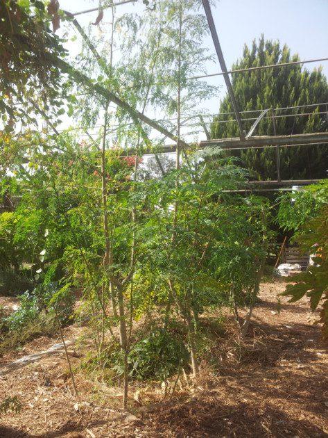 ערוגת המורינגות עוד לא בת שנה וחצי, וכבר חלק מהמורינגות בגובה 4 מטרים...