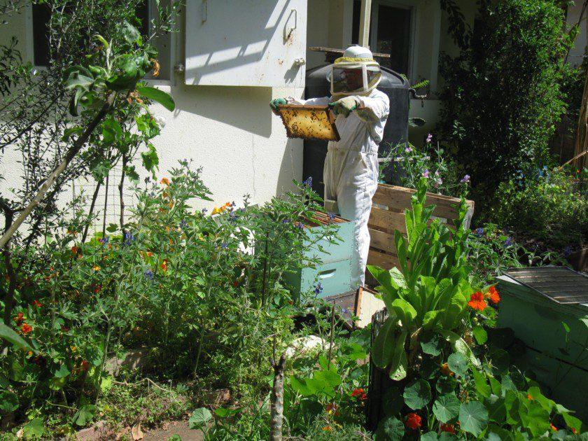 איש דבורים עירוני מטפל בכוורת