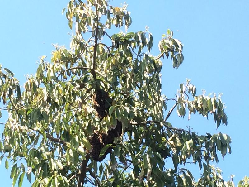 הנחיל על עץ האבוקדו