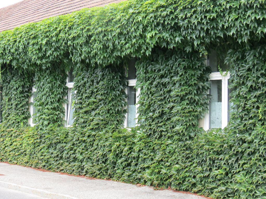 קיר ירוק של צמחים מטפסים