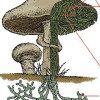 איך רשת מבולגנת כזו של תפטיר הופכת לגוף הפטרייה?