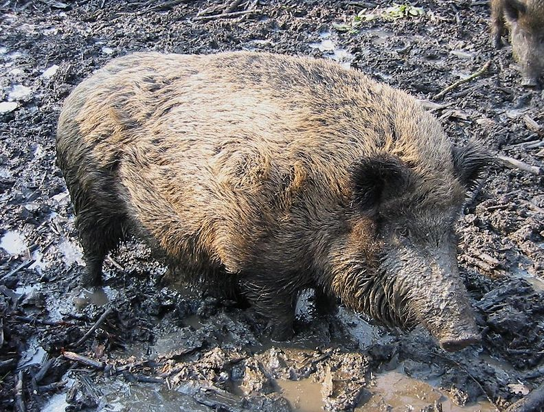 חזיר בר (קרדיט: וויקיפדיה). למצולם אין כל קשר לכתבה