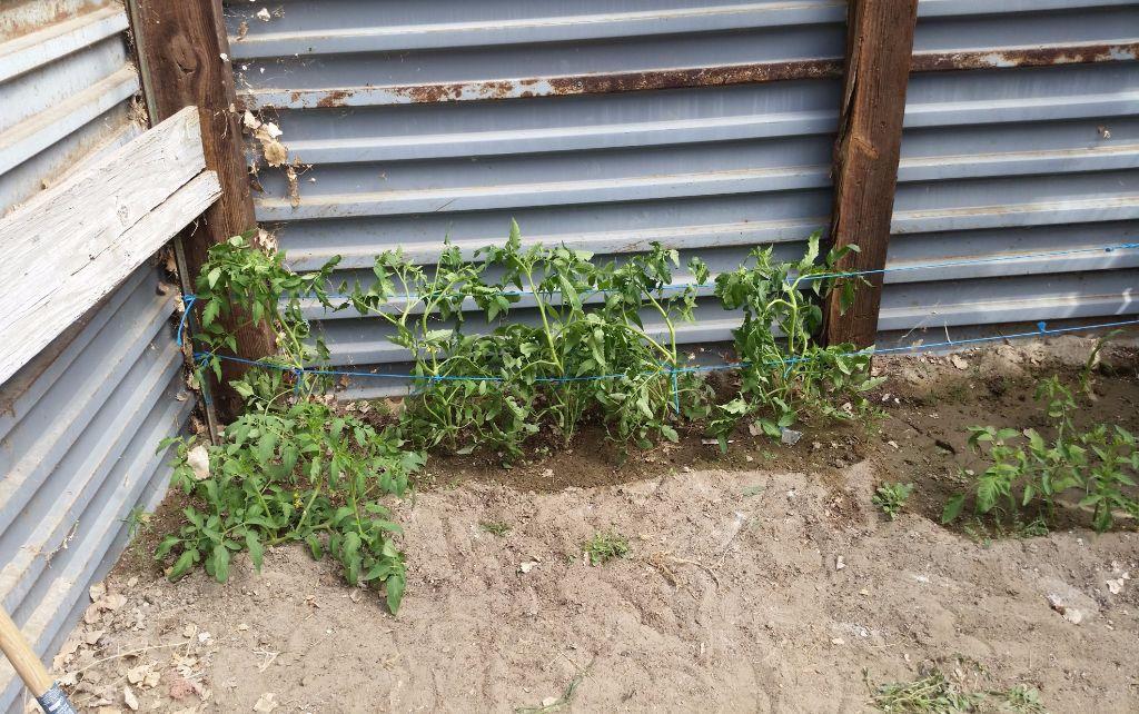 גידול עגבניות בחורף - חממה תת קרקעית- בידיים