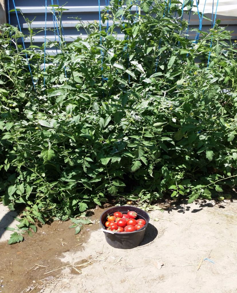 עגבניות אשר גדלו בחממה התת קרקעית בתחילת החורף- חממה תת קרקעית- בידיים