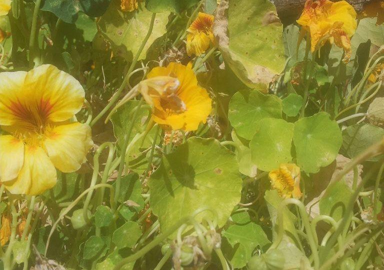 כובע הנזיר - הכל אכיל בצמח הזה