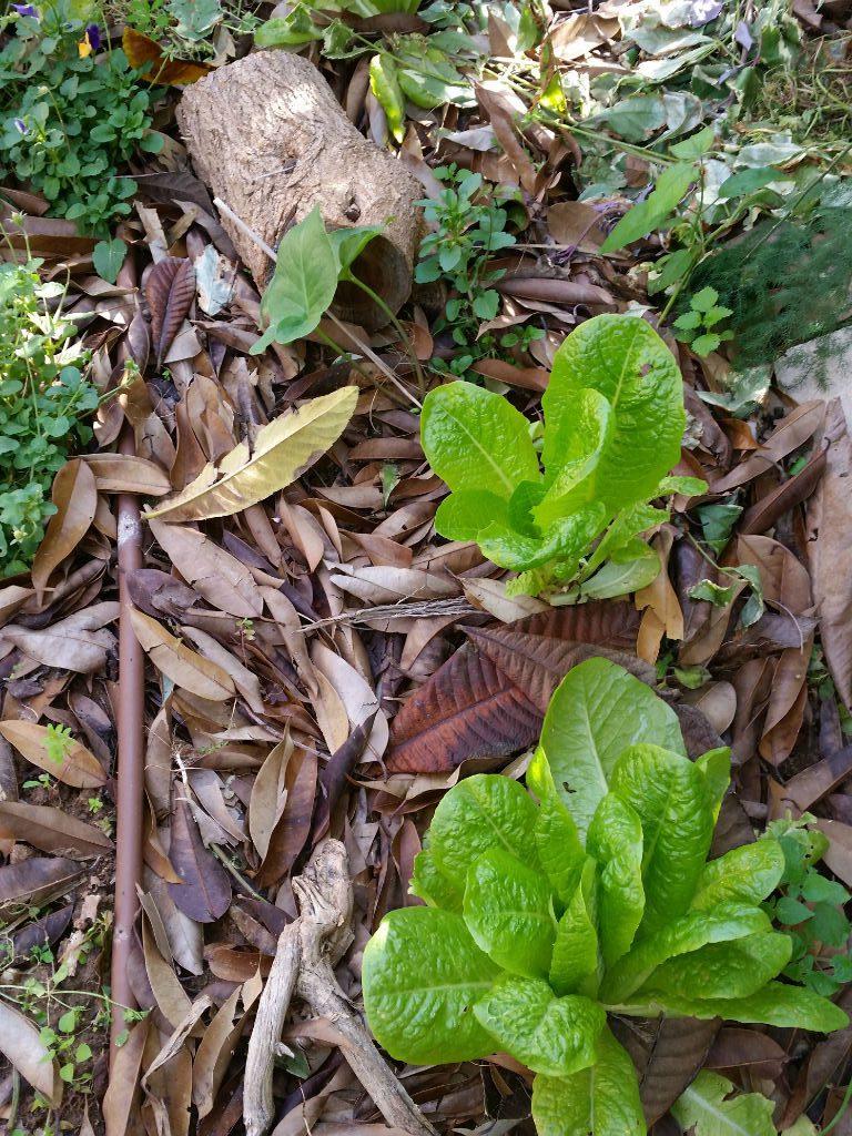 עלים יבשים כחיפוי קרקע