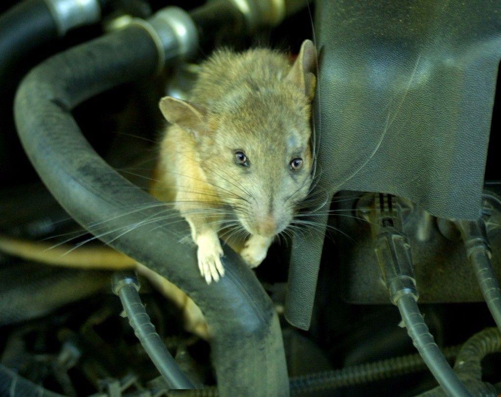 עכבר מכרסם חוטי חשמל וכבלים של מכונת הכביסה 2- בידיים
