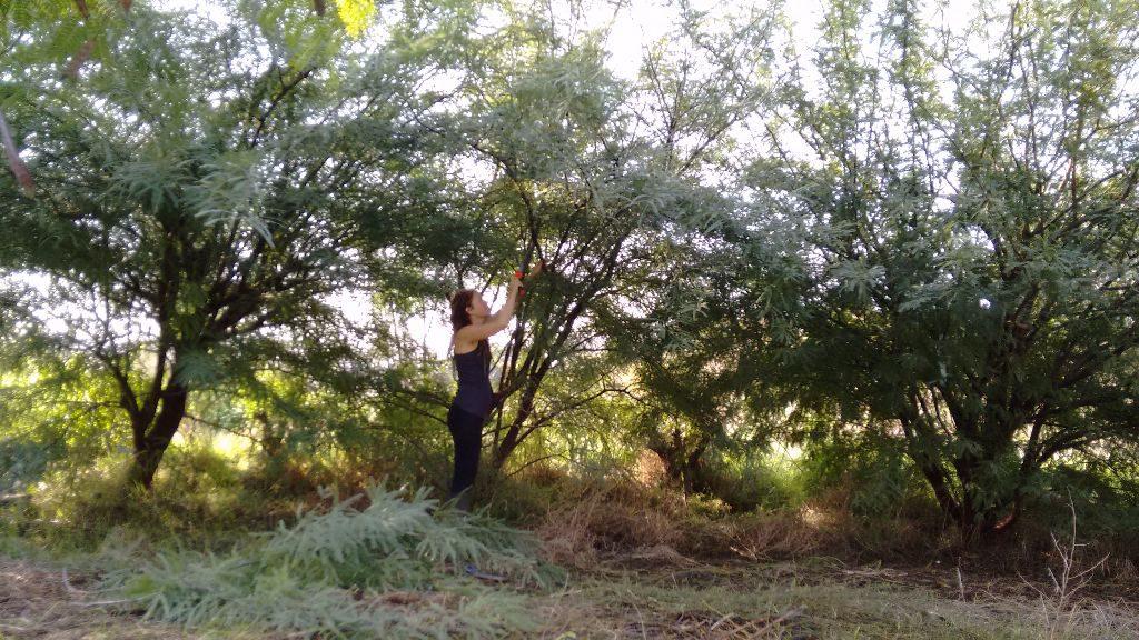 שלושה עצי ינבוט שכבר צפופים מידי. האמצעי ייכרת וכך יווצר מרחב מוצל ופתוח ביניהם