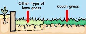 ציור שמציע לשתול דשא כמתחרה ליבלית. למה לא נענע?