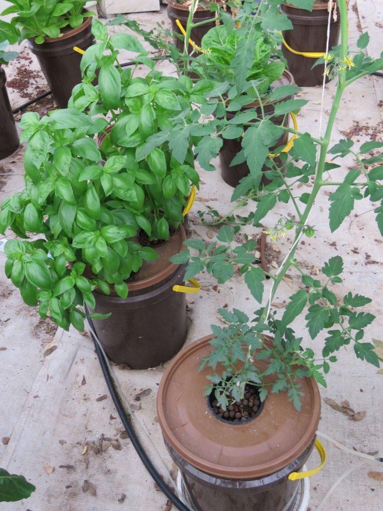 העגבניה עולה השמיימה- עגבניה ובזיל בעציצים הידרופונים