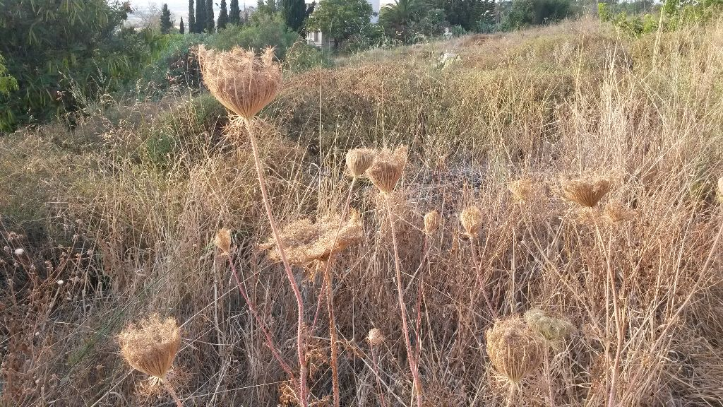 גזר קיפח - תפרחת יבשה עם זרעים