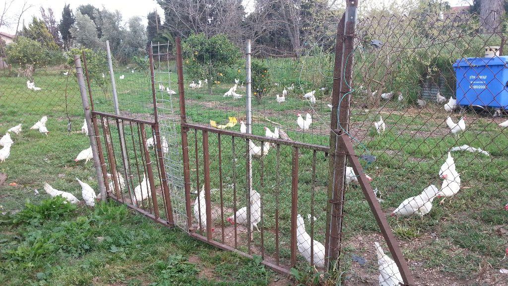 רוב הזמן ורוב התרנגולות מבלות בתוך הלול הבנוי ולא בחצר