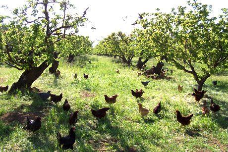 תרנגולות במטע