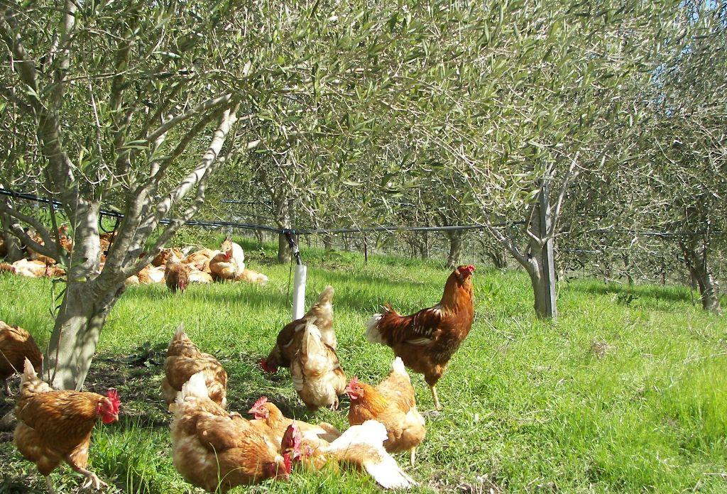 תרנגולות במטע זיתים