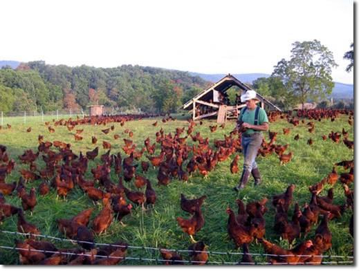 תרנגולות במרעה בחוות Polyface