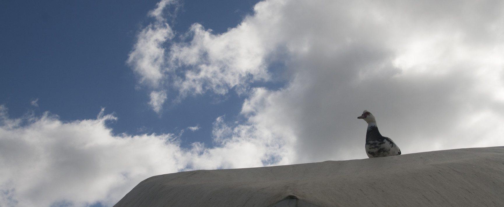 ברווז על הגג