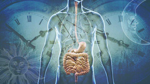השעון הביולגי של מערכת העיכול